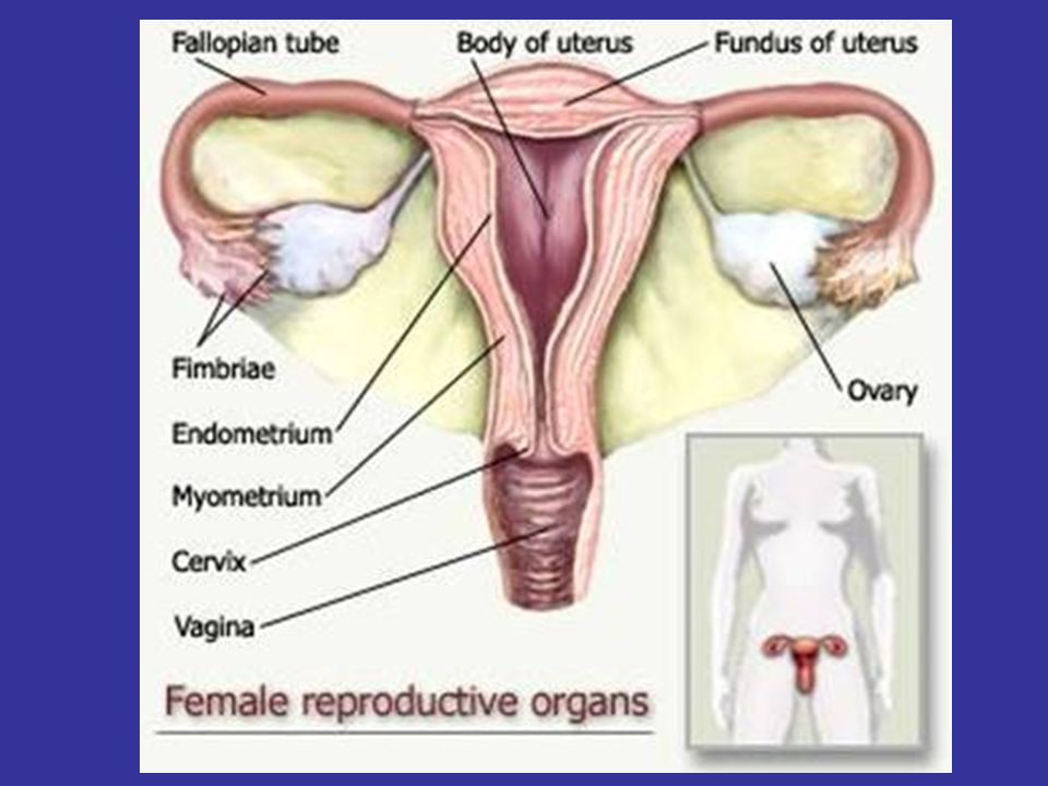Female Reproductive System. Female anatomy Internal genitals ...