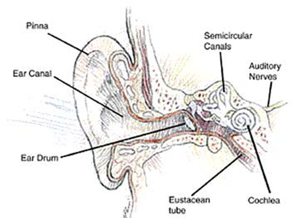 Identify The Path Of Sound Waves As They Enter The Human Body Aim