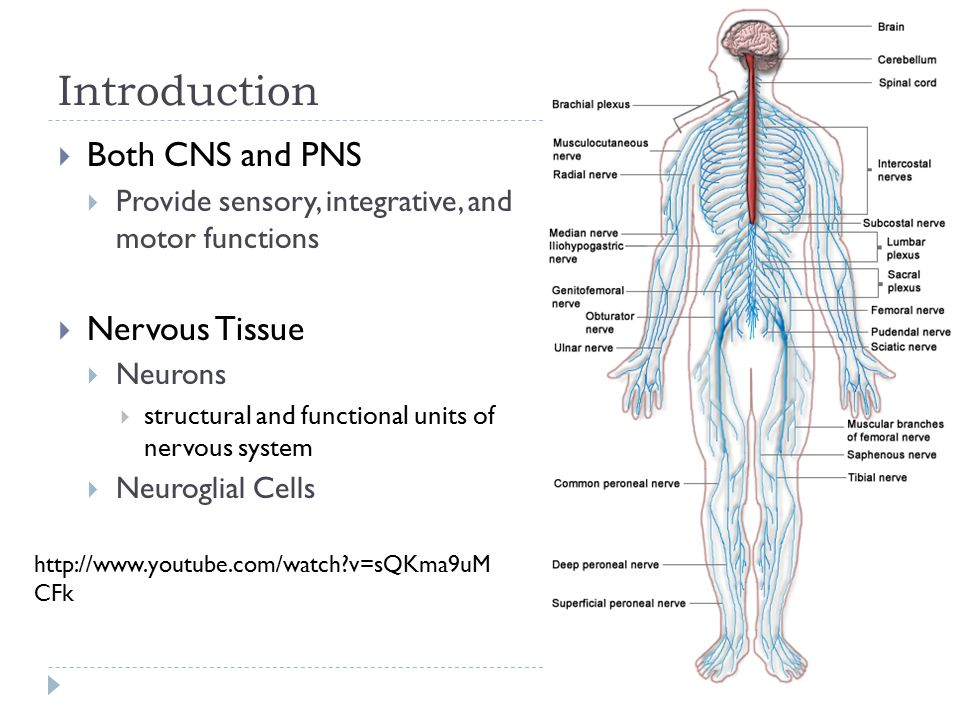 Chapter 9 The Nervous System Day 1 Pages: NgGKSNiNw. - ppt download
