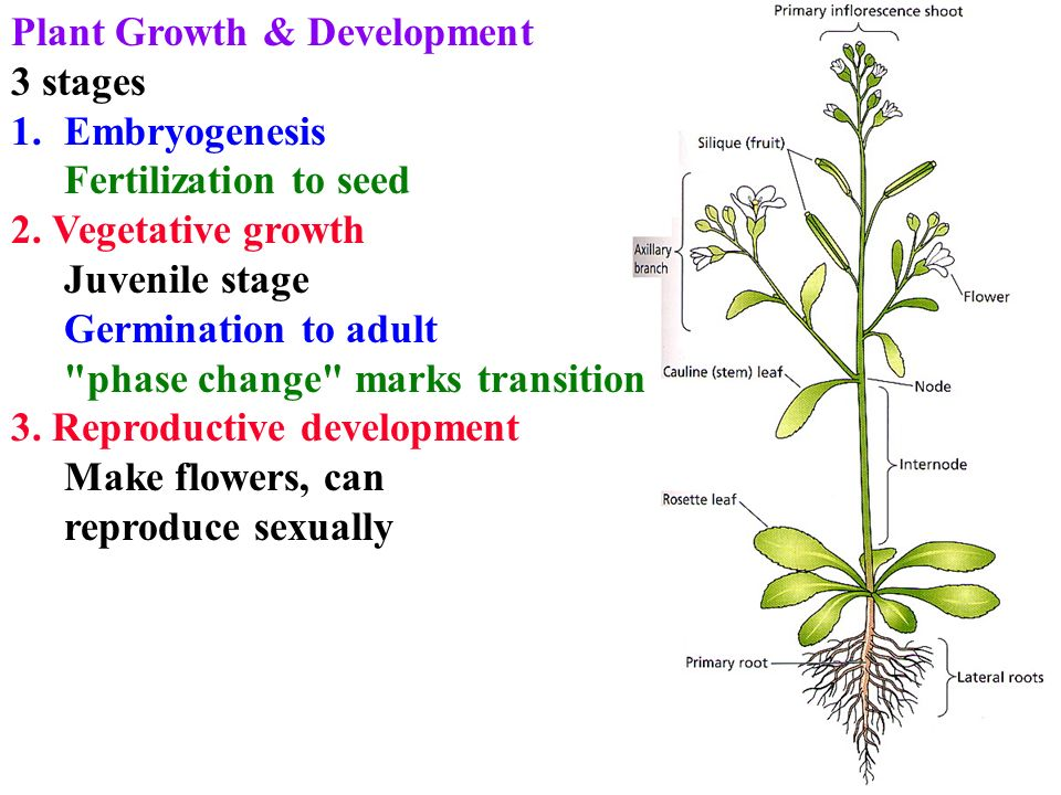 Plant growth development 3 stages 1embryogenesis fertilization to plant growth development 3 stages 1embryogenesis fertilization to seed 2 mightylinksfo
