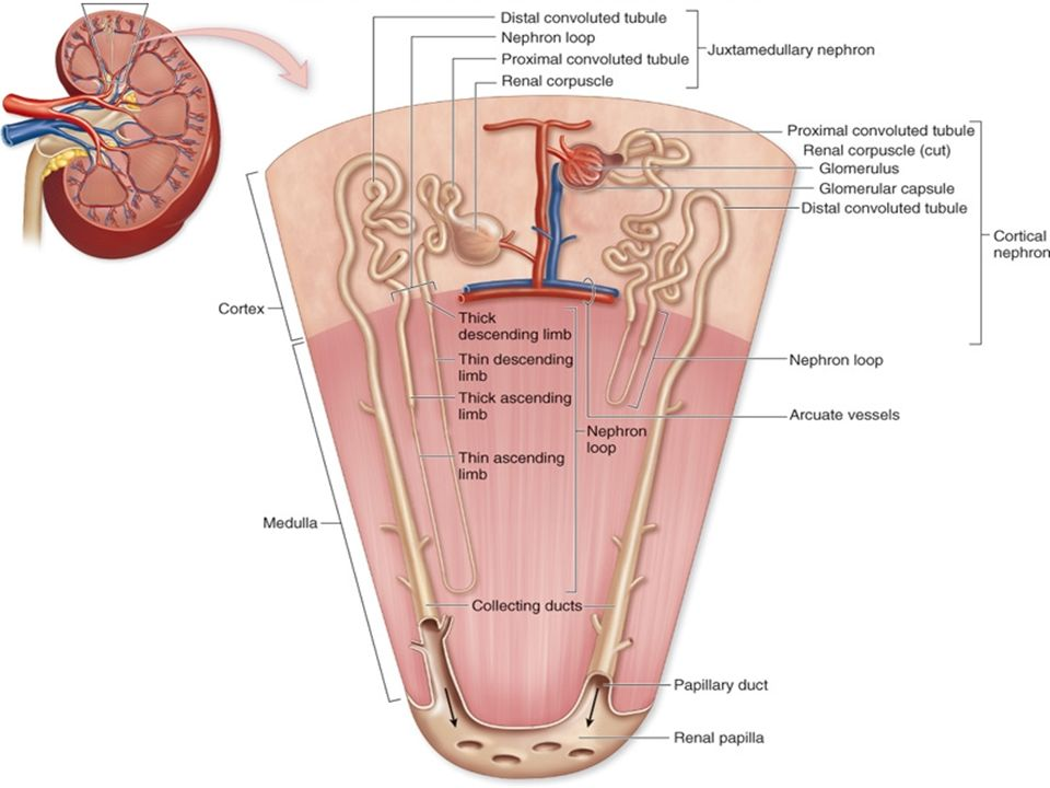Anatomy Physiology Of Kidney Renal Anatomy Ppt Download