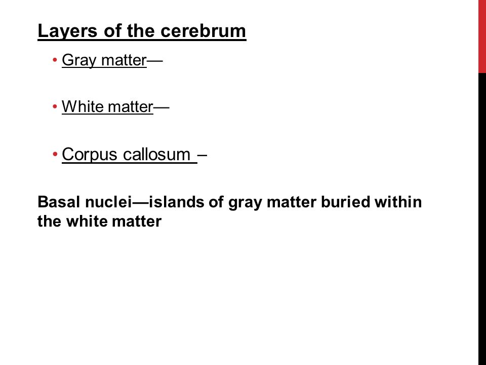 Layers of the cerebrum Gray matter— White matter— Corpus callosum – Basal nuclei—islands of gray matter buried within the white matter
