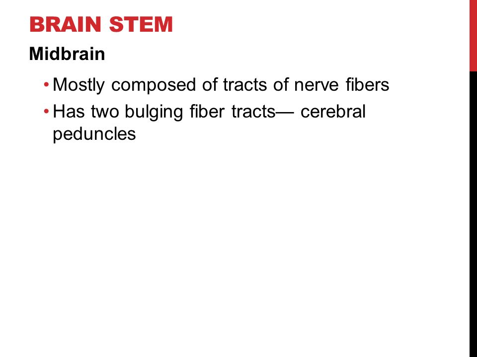 BRAIN STEM Midbrain Mostly composed of tracts of nerve fibers Has two bulging fiber tracts— cerebral peduncles