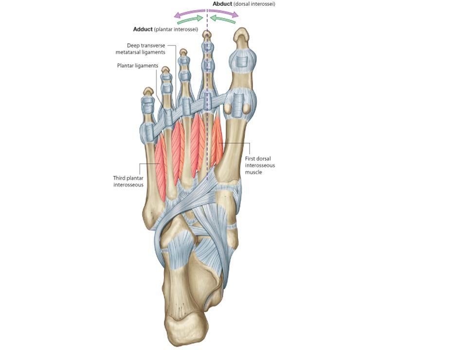 SOLE OF THE FOOT Dr. Jyoti Chopra Professor Department of Anatomy ...