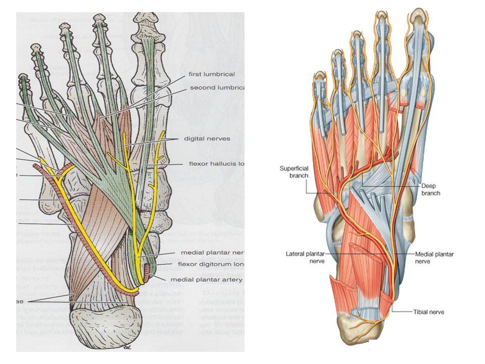 Sole Of The Foot Dr Jyoti Chopra Professor Department Of Anatomy