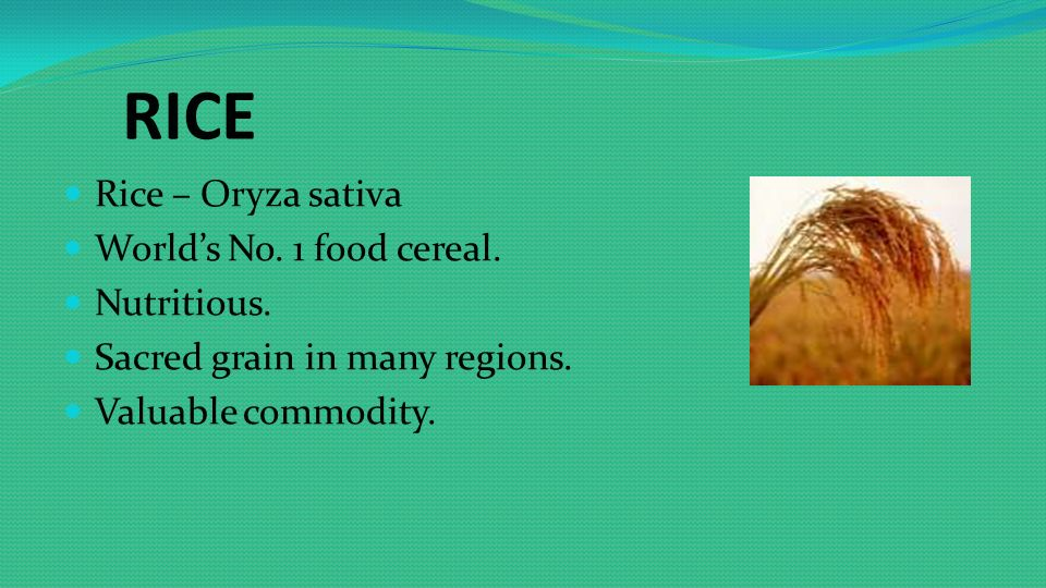 RICE Rice – Oryza sativa World's No  1 food cereal  Nutritious