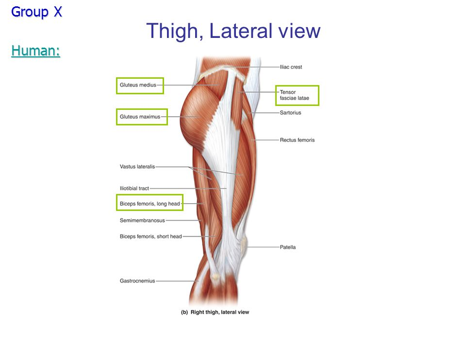 Group X Thigh, Lateral view Human:. Group X Thigh, Lateral view 1 ...