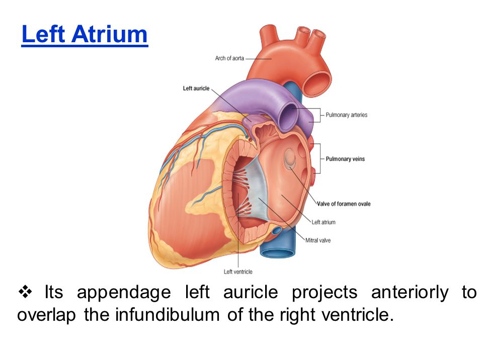 HEART. Introduction : It is conical, hollow muscular organ situated ...
