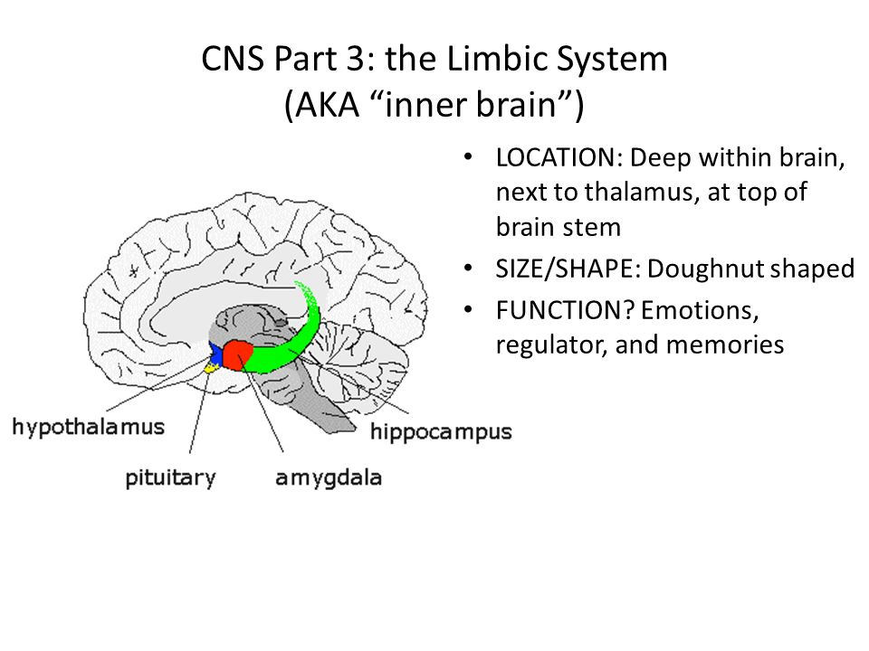 Unit 3 Lecture 2 The Central Nervous System Cns 1 Spinal Cord