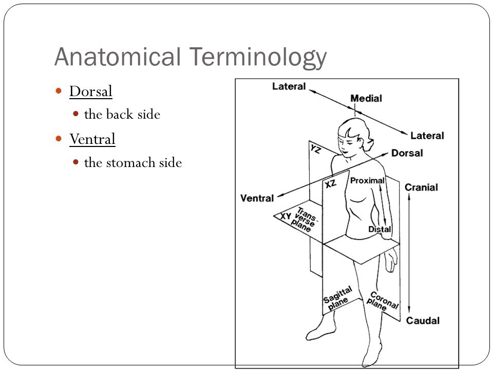 Anatomical Position position used to identify human anatomy this ...