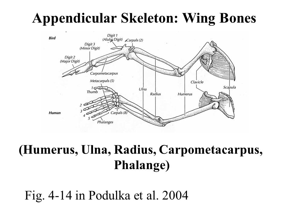 Skeletal System Elephant Bird (Madagascar) ** Extinct 16 th Century ...