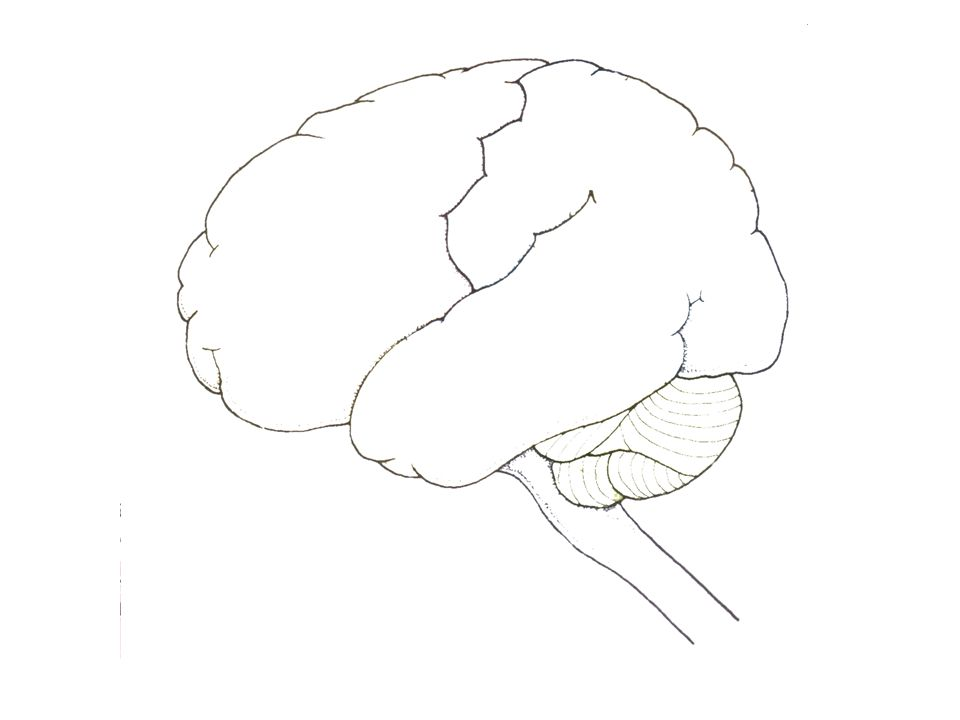 The brain 1 Using the simple outlines of the brain (left