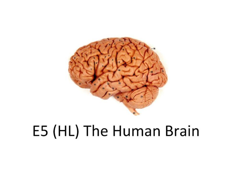 E51 Label On A Diagram Of The Brain The Medulla Oblongata