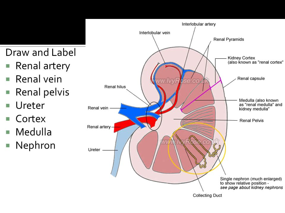 Diagram Of Renal Pelvis And Ureters - Application Wiring Diagram •