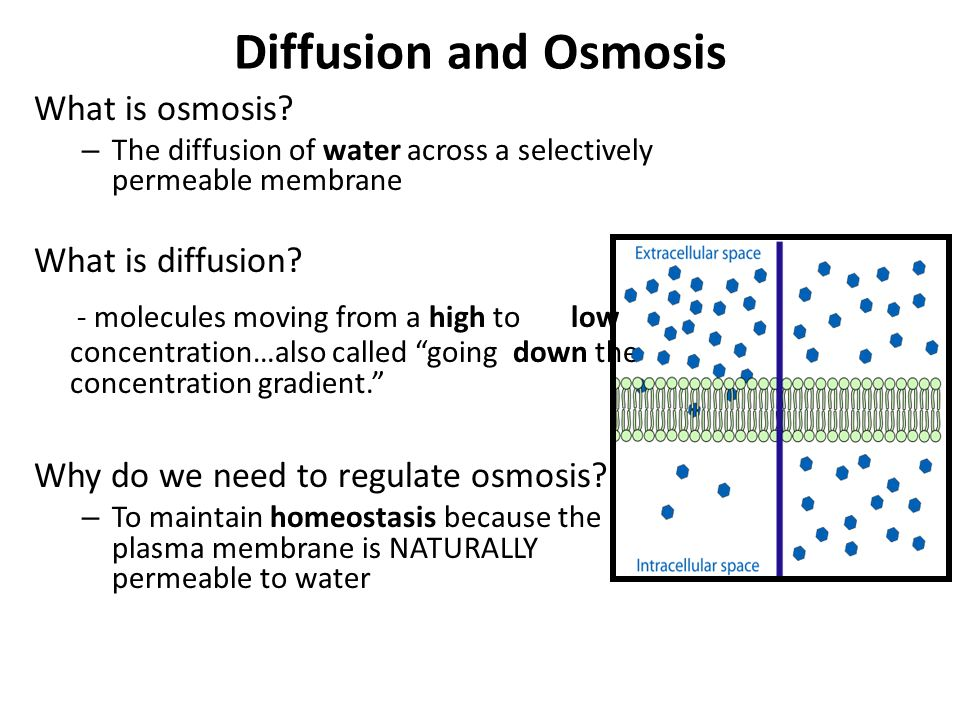 osmosis and highest water concentration Osmosis takes place when water molecules move from a hypotonic to a hypertonic solution, ie, from a region of higher concentration to a region of lower concentration from this phenomenon, the term 'osmotic pressure' is also derived.