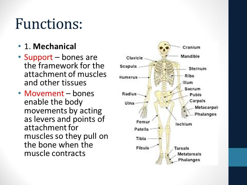 The Skeletal System Bones Functions 1 Mechanical Support Bones