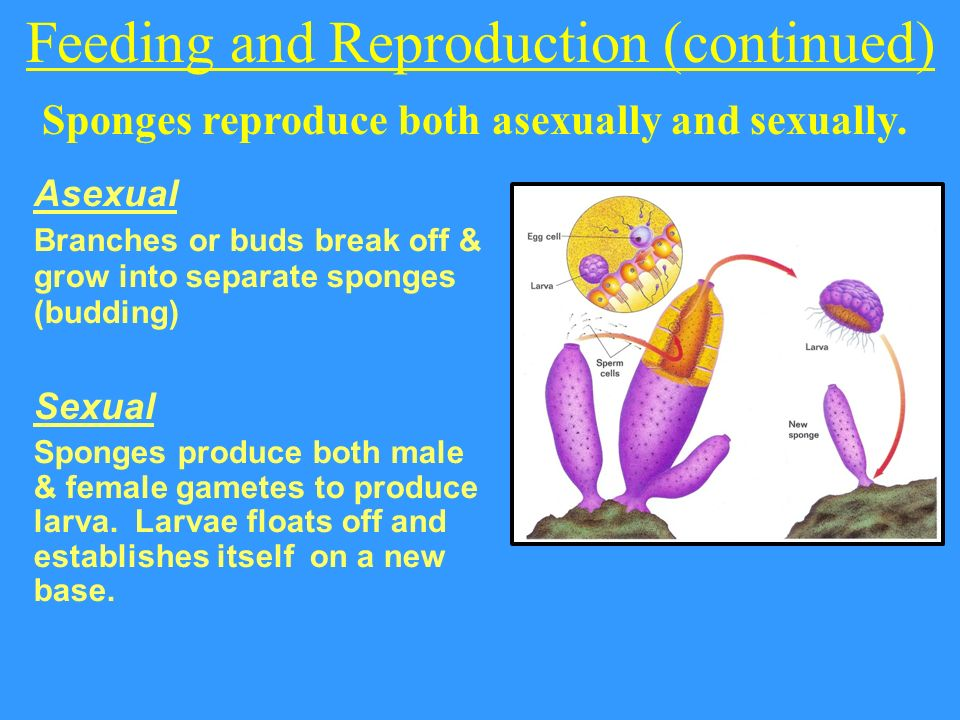 Sponges reproduction asexual reproduction