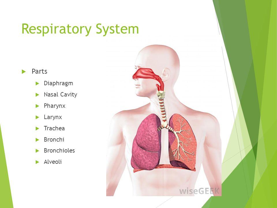 Respiratory System Pharynx Trachea Nasal Cavity Pleura Larynx Left