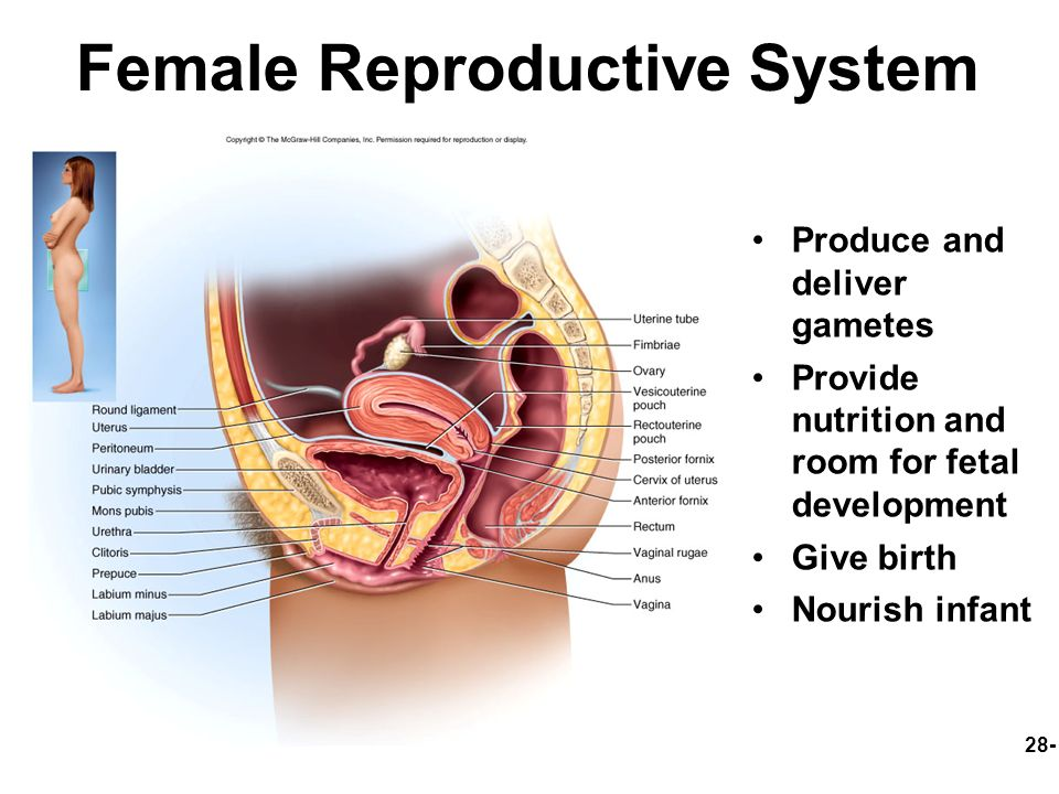 28 Female Reproductive System Reproductive Anatomy Puberty And