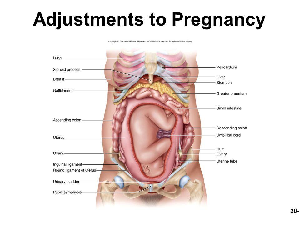 Pregnancy Round Ligament Diagram - Application Wiring Diagram •