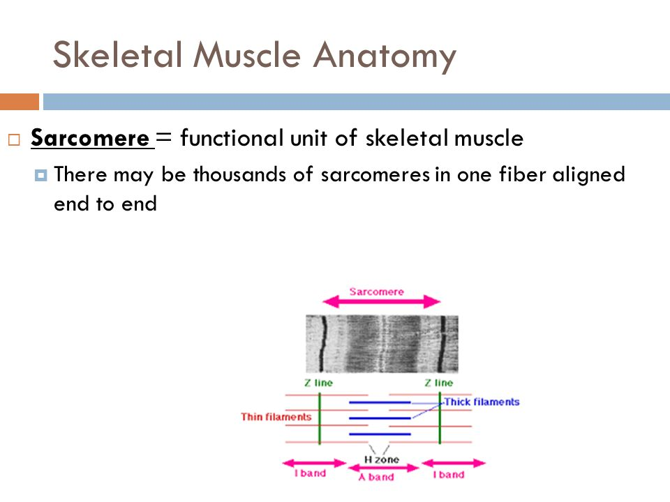 MUSCULAR SYSTEM Structure and Function. Skeletal Muscle Properties 1 ...