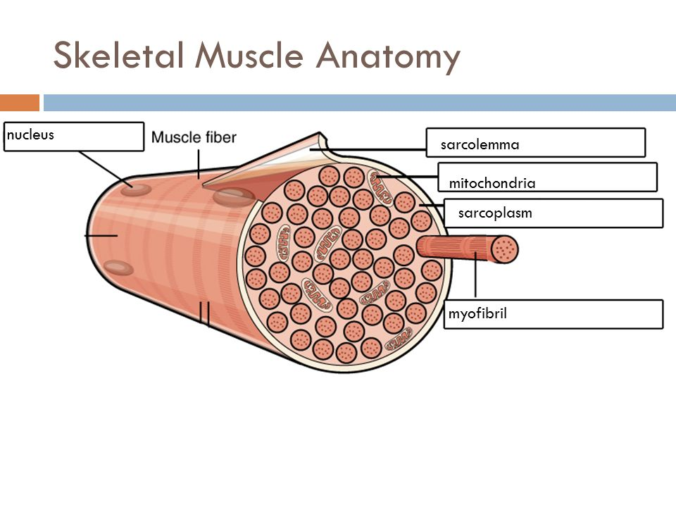 Muscular System Structure And Function Skeletal Muscle Properties 1