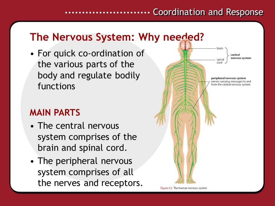 Coordination And Response Explain The Role Of The Nervous And