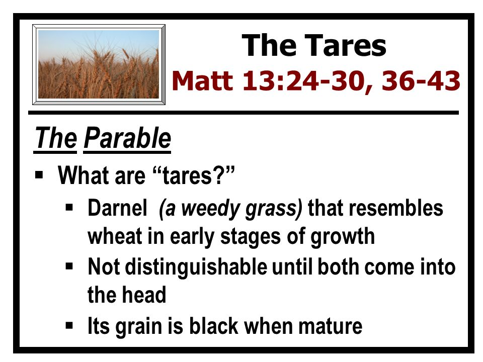 The Parable  What are tares  Darnel (a weedy grass) that resembles wheat in early stages of growth  Not distinguishable until both come into the head  Its grain is black when mature The Tares Matt 13:24-30, 36-43
