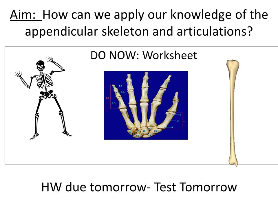 Aim How Can We Apply Our Knowledge Of The Appendicular Skeleton And