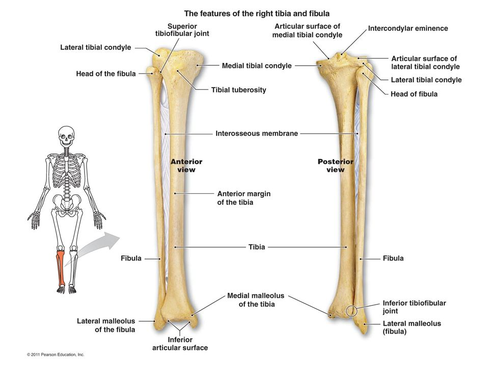 Foot/Ankle Unit. SKELETAL ANATOMY Lower Leg Bones Tibia – Shin Bone ...