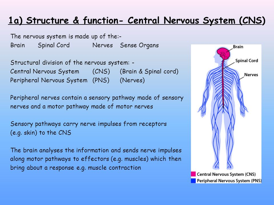 1a) Structure & function- Central Nervous System (CNS) The nervous system is