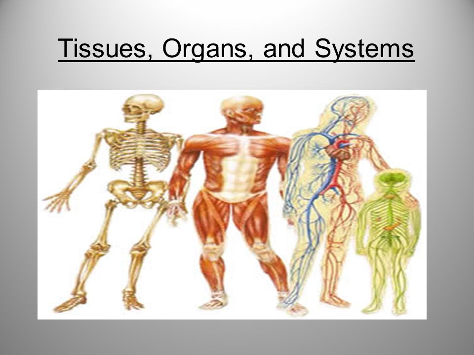Tissues Organs And Systems 2 Organization Of Your Body There Are