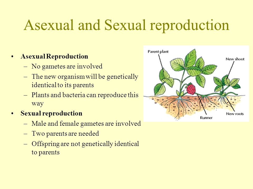 Plant runners asexual reproduction in bacteria