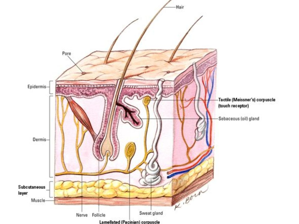 Tissue Types And Integumentary System Connective Tissue 45 Of You
