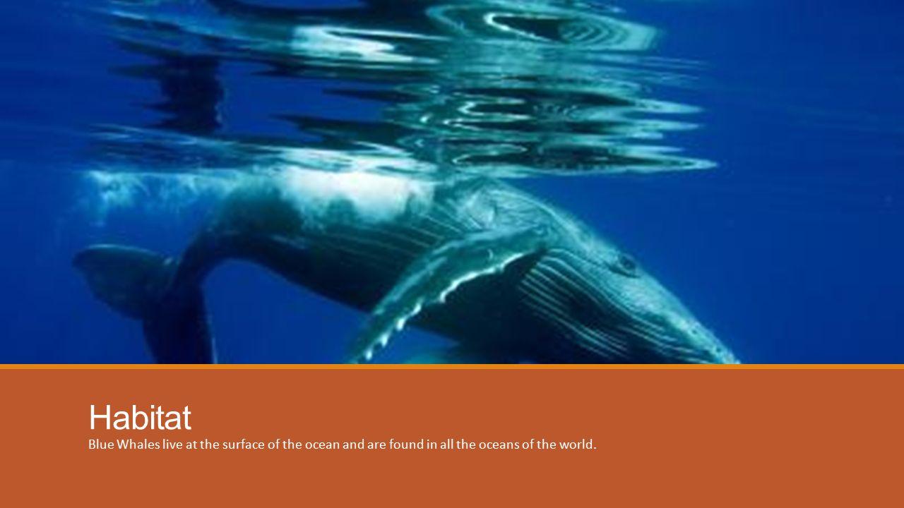 Blue Whale BY HOWARD MCFALL. Anatomy The Blue Whale skin usually has ...