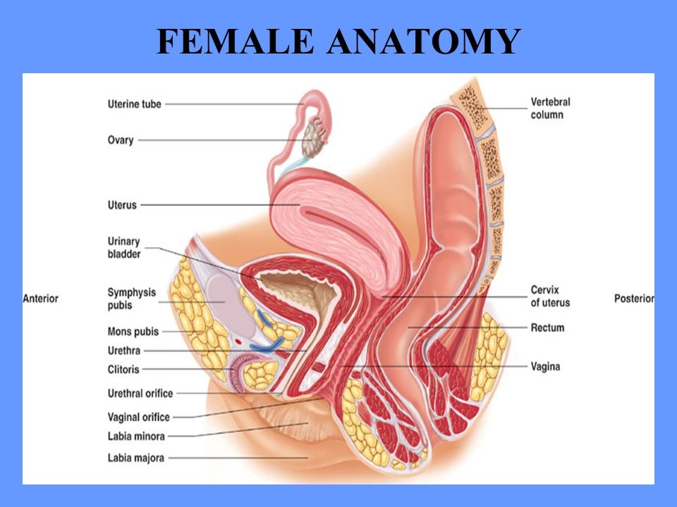 HUMAN ANATOMY LECTURE TWENTY-ONE REPRODUCTIVE SYSTEM. - ppt download