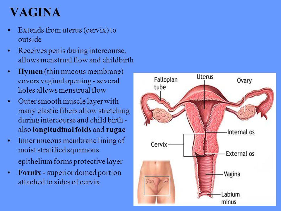Fold of mucos membrane in vagina
