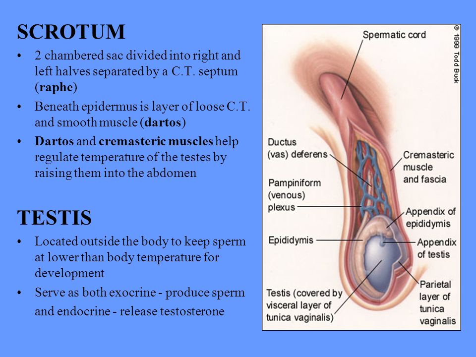 Human Anatomy Lecture Twenty One Reproductive System Ppt Download