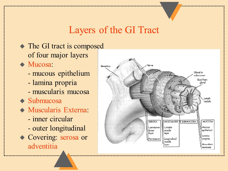 Anatomy Of The Digestive System U Functions Of The Digestive System