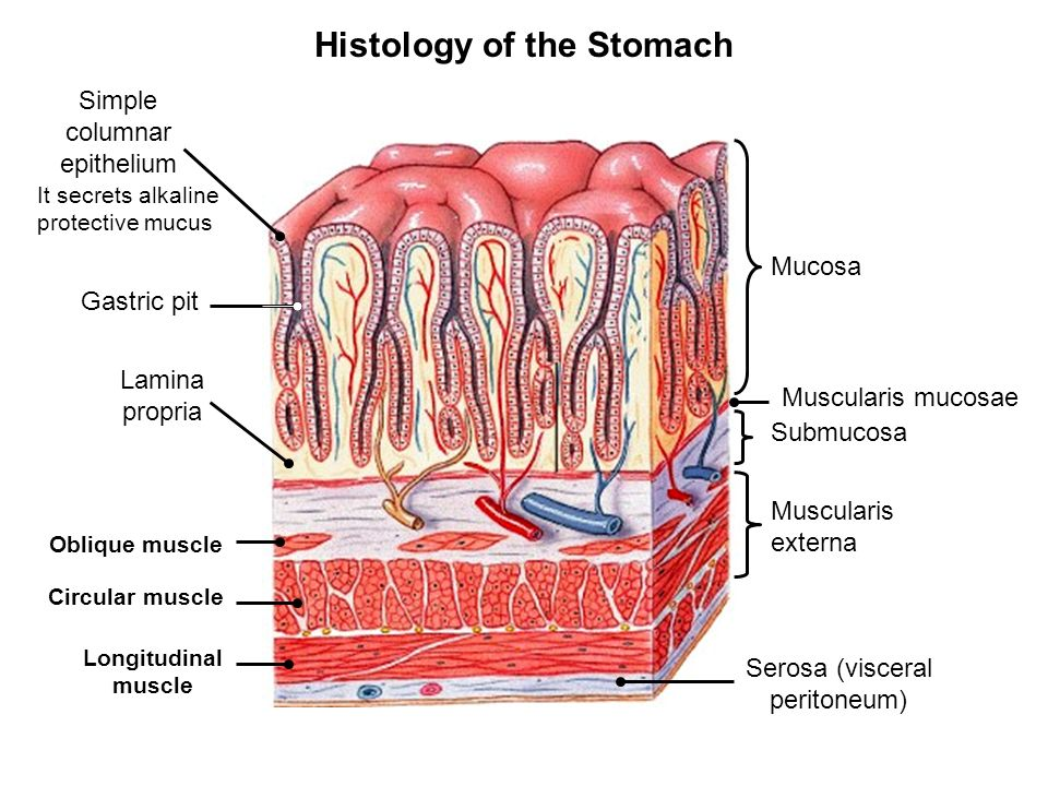 Lesson # 16The Digestive System 2 Chapter 24 Objectives: 1- To ...