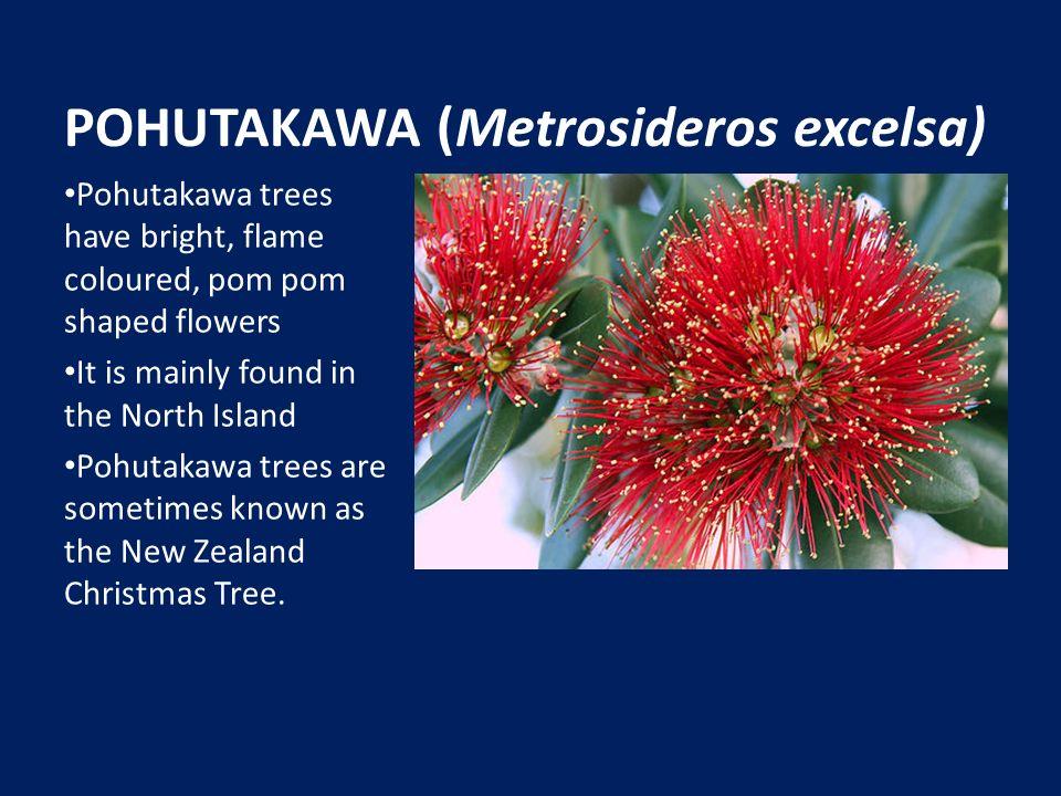 New Zealand Native Plants Manuka Leptospermum Scoparium The