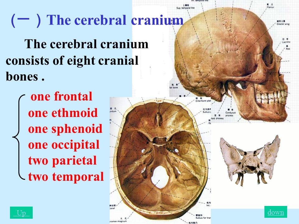 craniul cerebral)