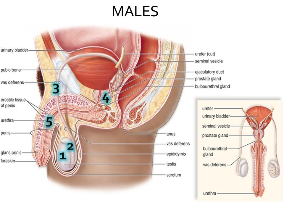 Males Structurefunction 1 Testes Seminiferous Tubules Interstitial