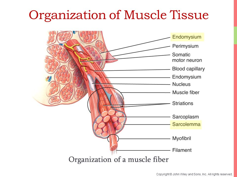 Anatomy Of Muscle Tissue Image collections - human body anatomy