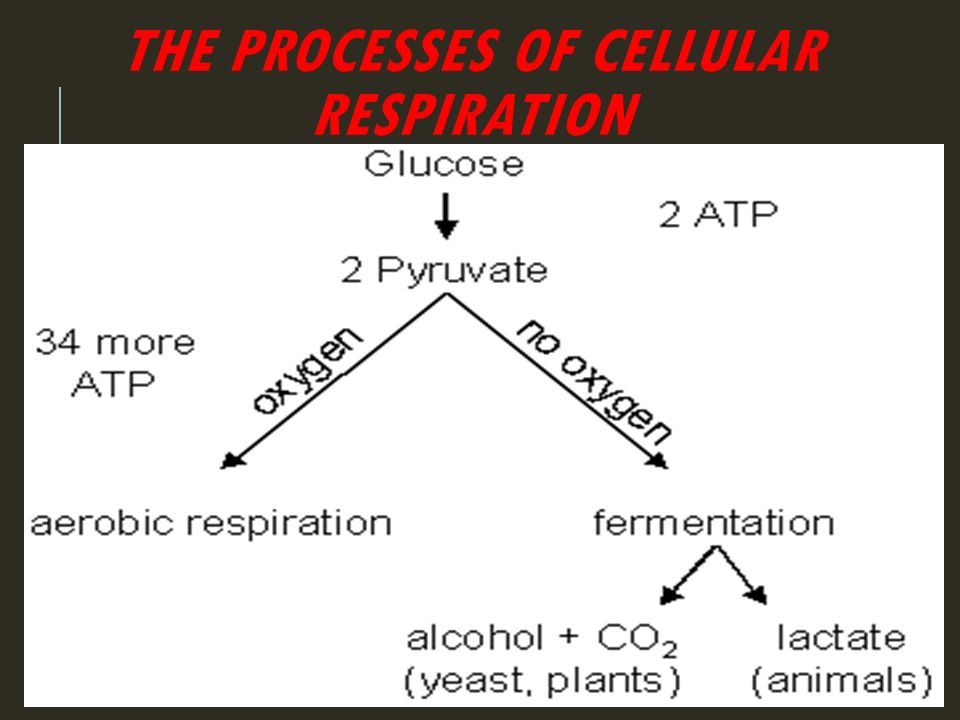 AEROBIC AEROBIC RESPIRATION Occurs in both plants and animals Occurs in both plants and animals Much more efficient than anaerobic respiration.