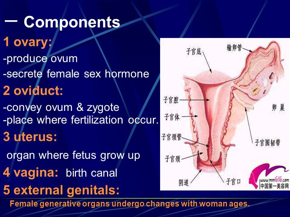 一 Components 1 ovary: -produce ovum -secrete female sex hormone 2 oviduct:
