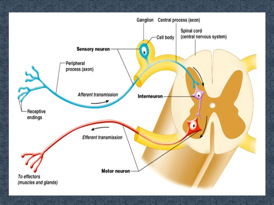 Reflex arc diagram dendrite wiring diagram synapse is a junction where a axon interacts with another neuron rh slideplayer com explain the reflex arc simple reflex arc diagram labeled ccuart