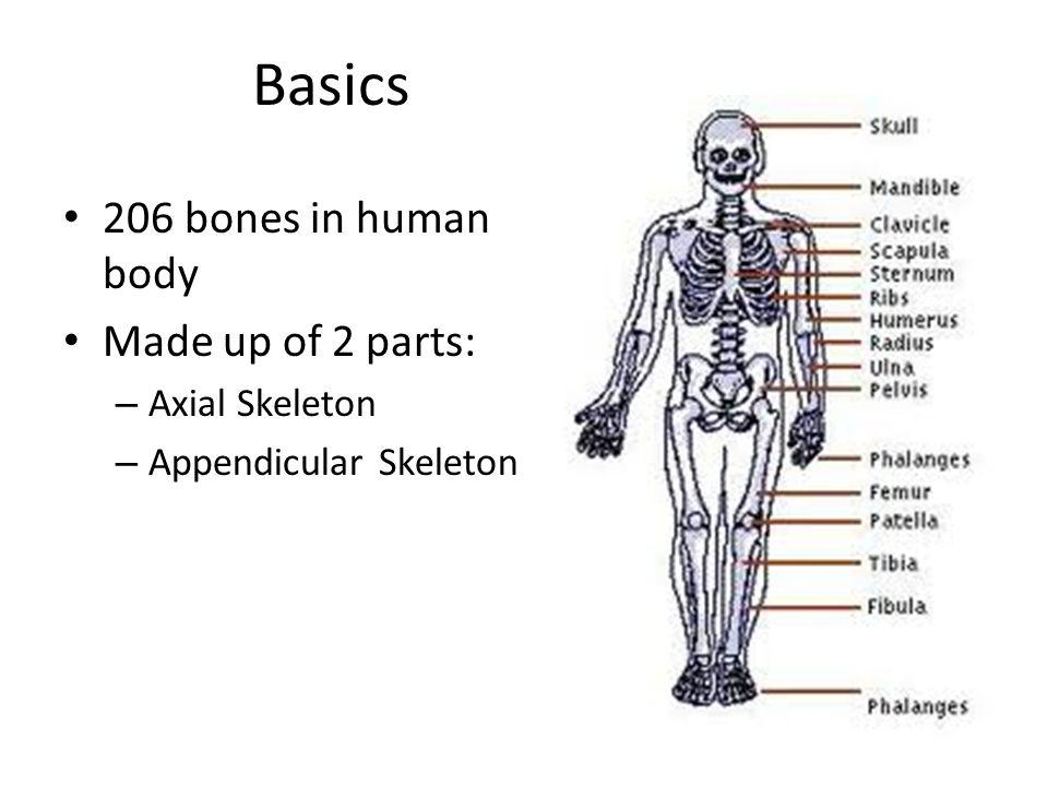 Skeletal Organization 75 P 205 P Basics 206 Bones In Human Body