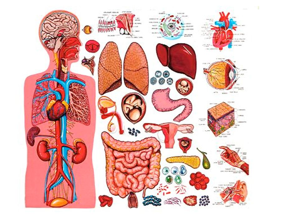 Cells Tissues Organs And Organ Systems Resourcesks3