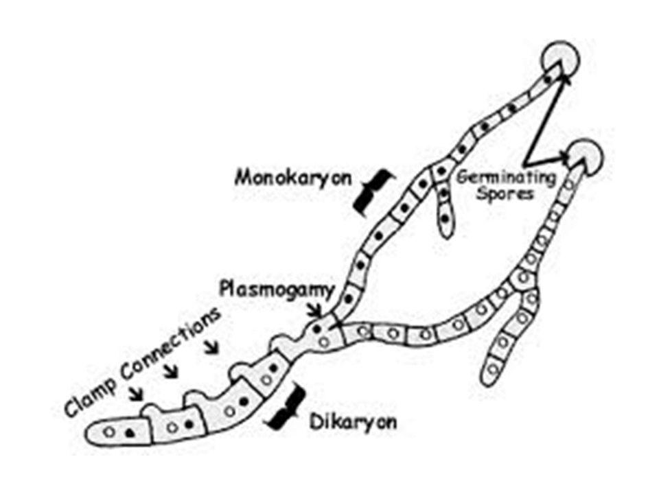 Diagram Of Protists